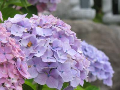 6月には色鮮やかな紫陽花が咲く区画です。。